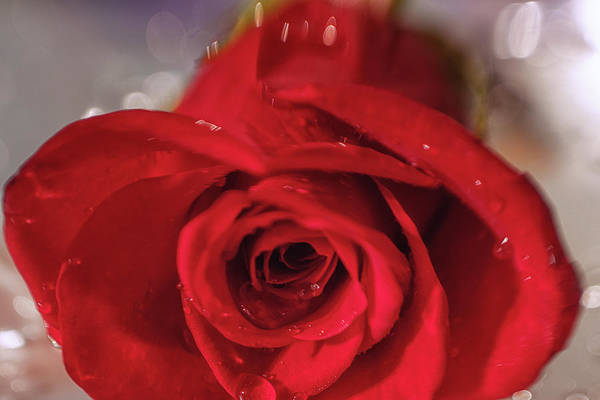 Wall Art - Photograph - The Magic Of Roses by Marnie Patchett