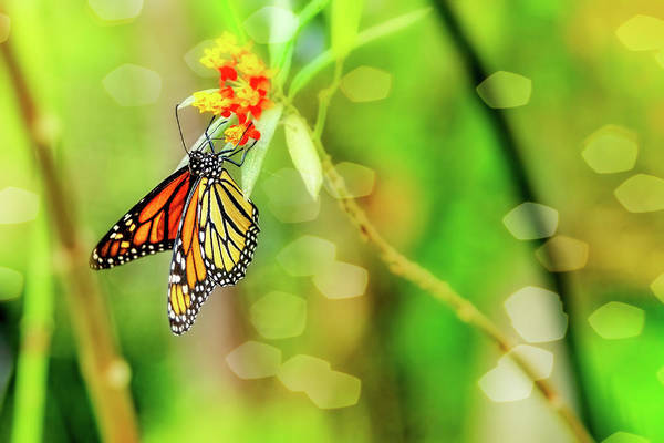 Photograph - The Magnificent Monarch by Kay Brewer