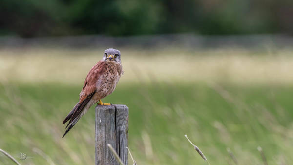 Wall Art - Photograph - The Male Kestrel On His Watch by Torbjorn Swenelius