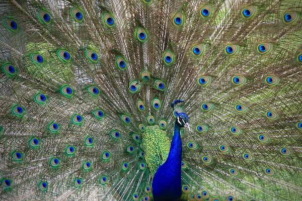 Photograph - The Male Peacock by Ed  Riche