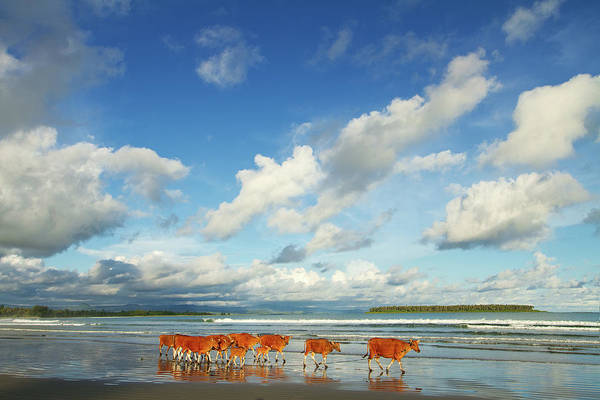 Sea Cow Photograph - The Marching Cows On Beach by Photo By Sayid Budhi