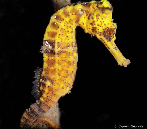 Photograph - The Mask Of A Seahorse by Sandra Edwards
