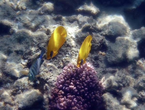 Photograph - The Masked Butterflyfish And Sailfin Tang by Johanna Hurmerinta