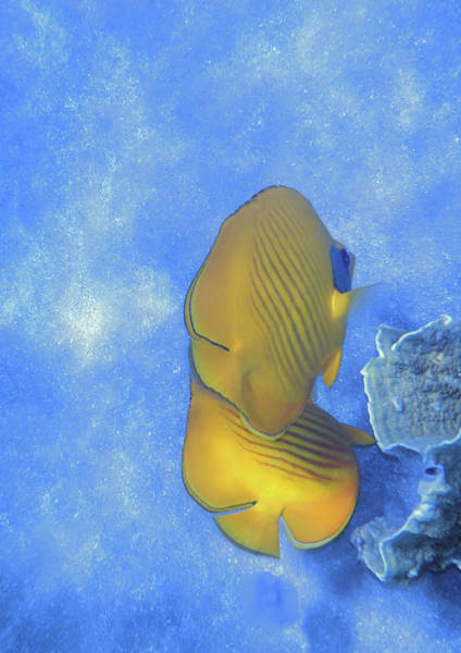Photograph - The Masked Butterflyfish Blue by Johanna Hurmerinta