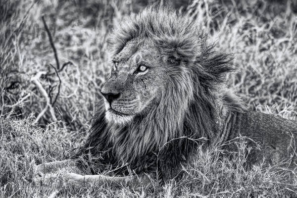 Photograph - The Mighty Lion Has Fallen In Black And White by Kay Brewer
