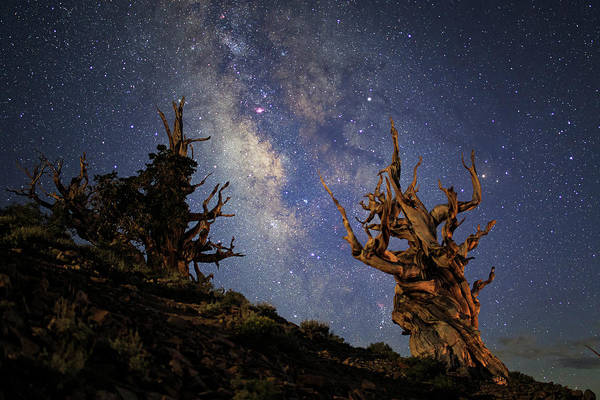 Wall Art - Photograph - The Milky Way And Ancient Bristlecone by Jeff Dai