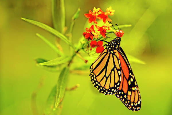 Photograph - The Monarch Butterfly by Kay Brewer