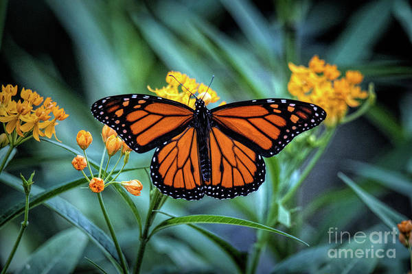 Photograph - The Monarch by Ed Taylor