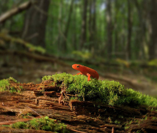 Woodlands Photograph - The Moss Boss by Jerry LoFaro