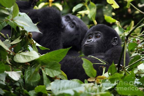 Monkey Wall Art - Photograph - The Mountain Gorilla Gorilla Beringei by Karel Bartik