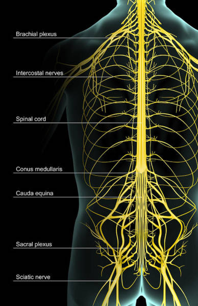 Lumbar Plexus Digital Art - The Nerve Supply Of The Trunk by Medicalrf.com