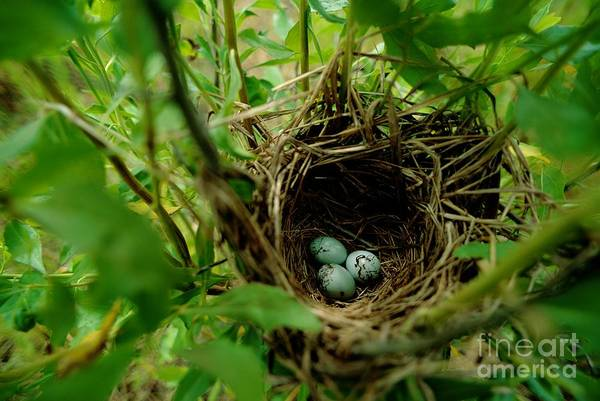 Photograph - The Nest And Eggs Of A Red Winged Blackbird, Agelaius Phoeniceus, Nestled In The Atchafalaya Delta by James Blair