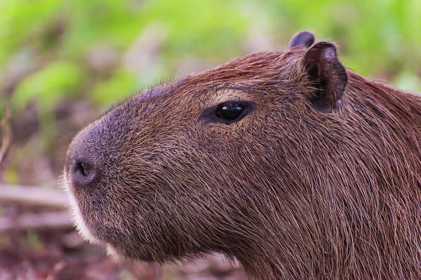Photograph - The Noble Capybara by Alex Lapidus
