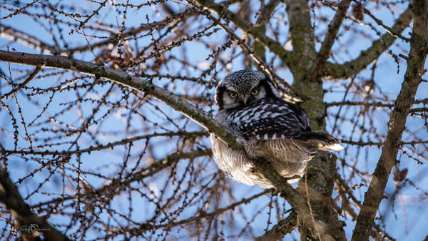 Photograph - The Northern Hawk Owl Perching On A Larch Branch by Torbjorn Swenelius
