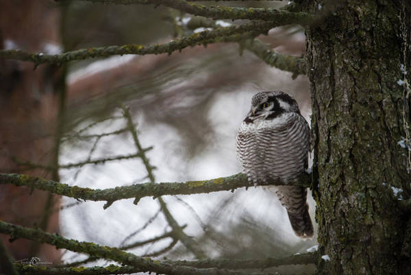 Photograph - The Northern Hawk Owl Perching On A Pine Branch In The Wood by Torbjorn Swenelius