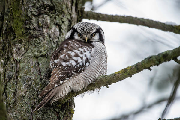 Photograph - The Northern Hawk Owl Perching On A Pine Branch by Torbjorn Swenelius
