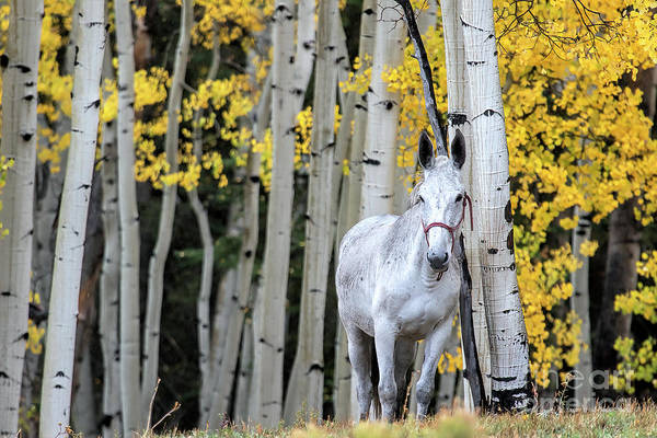 Photograph - The Old Gray Mule  by Jim Garrison