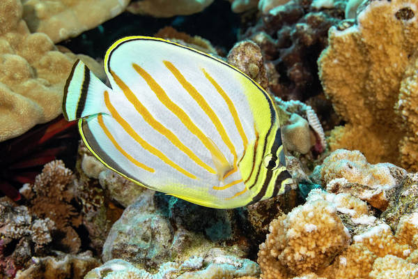 Wall Art - Photograph - The Ornate Butterflyfish  Chaetodon by Dave Fleetham