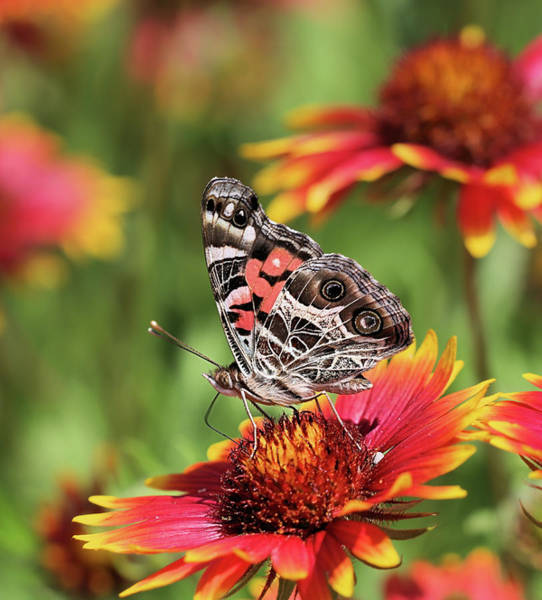 Photograph - The Painted Lady Butterfly by JC Findley