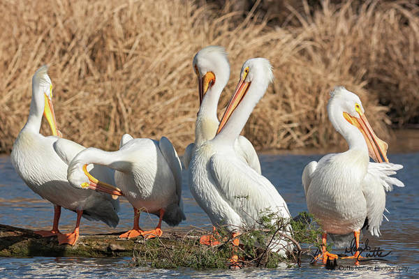 Photograph - The Pelican Gang by David Cutts