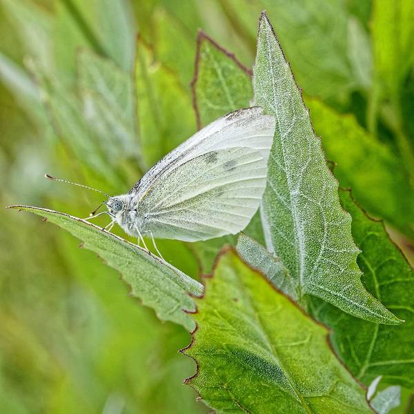 Photograph - The Perfect Pet - Cabbage Butterfly by KJ Swan