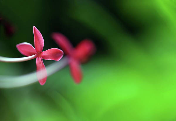 Photograph - The Pink Flower by Prakash Ghai