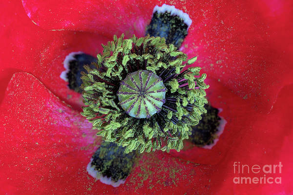 Photograph - The Poppy And Pollen by Tim Gainey