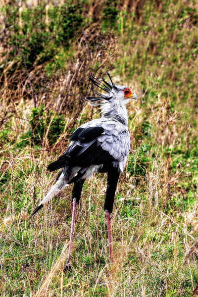 Photograph - The Quirky Secretary Bird by Kay Brewer