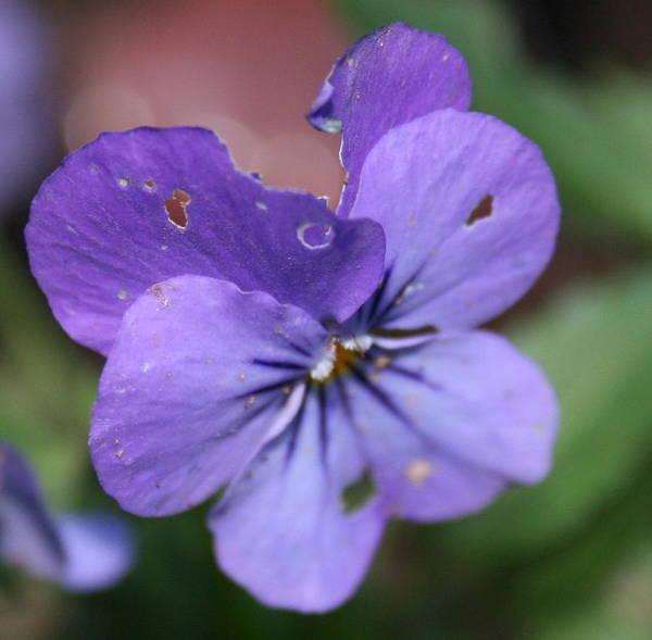 The Raggedy Viola Art Print