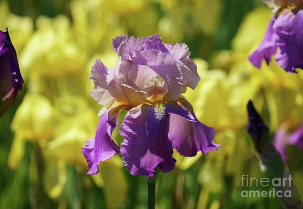 Photograph - The Rainbow Of Irises by Rachel Cohen
