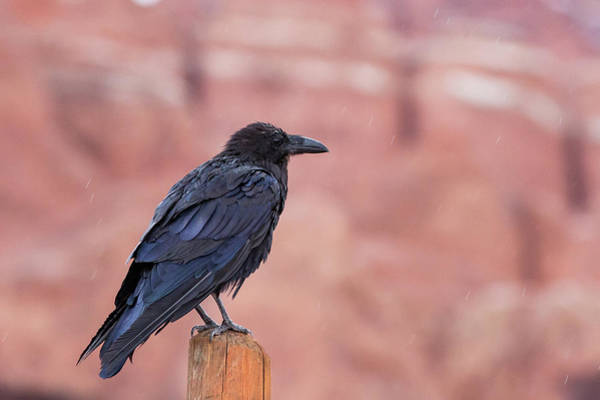 Photograph - The Rainy Raven by Kyle Lee