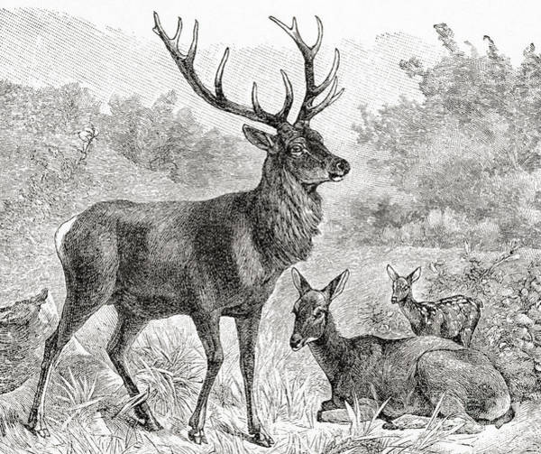 Antlers Drawing - The Red Deer  Cervus Elaphus by English School