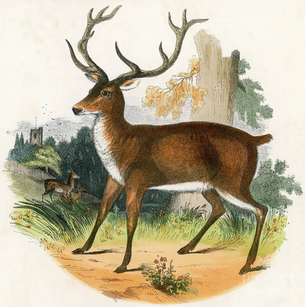 Antlers Drawing -  The Red Deer  Engraving 19th Century by English School
