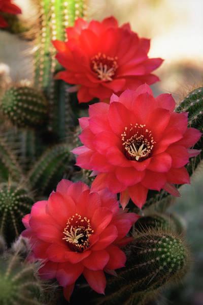 Desert Rose Photograph - The Red Rose Quartz  by Saija Lehtonen