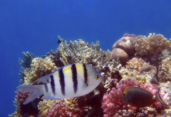 Photograph - The Red Sea Scissortail Sergeant  by Johanna Hurmerinta