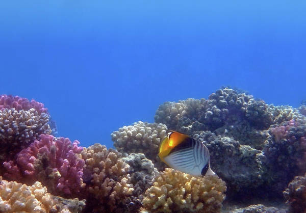 Photograph - The Red Sea Threadfin Butterflyfish And Colorful Corals by Johanna Hurmerinta