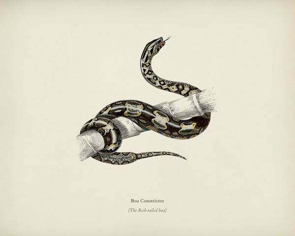 Boa Painting - The Red Tailed Boa  Boa Constrictor Illustrated By Charles Dessalines D Orbigny  1806 1876  by Celestial Images