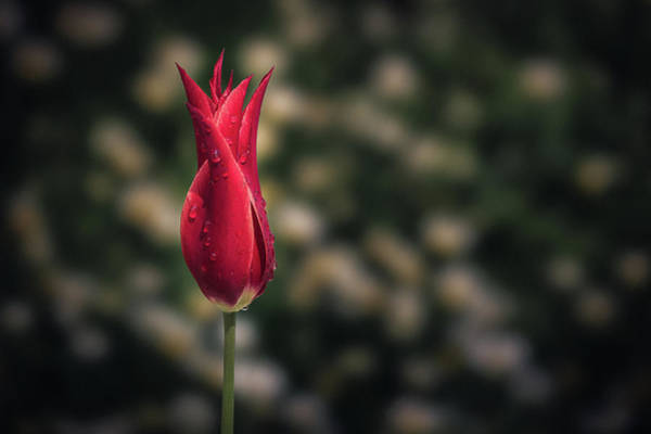 Photograph - The Red Tulip by Suleyman Derekoy