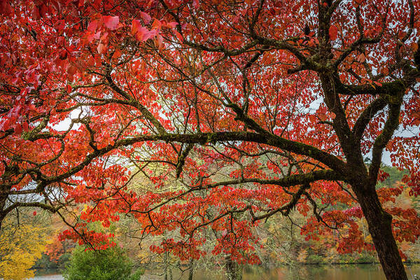 Wall Art - Photograph - The Reds Of Autumn by Debra and Dave Vanderlaan