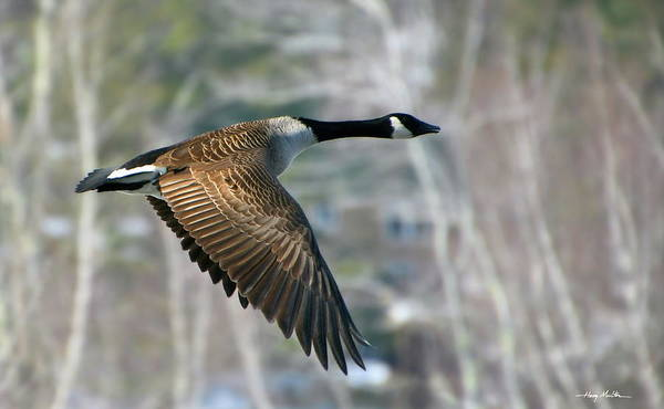 Photograph - The Returning Canada Geese by Harry Moulton