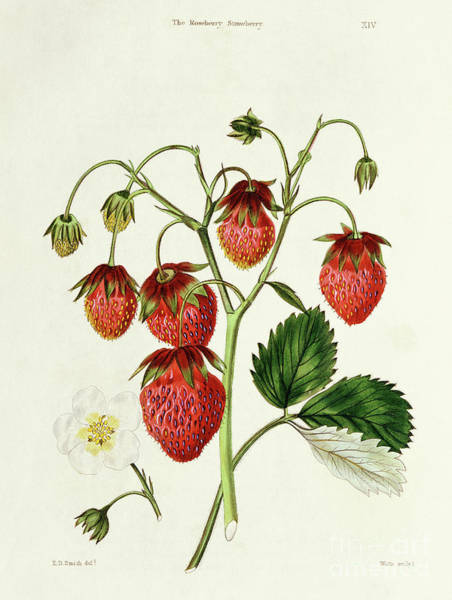 Organic Drawing - The Roseberry Strawberry, Engraved By Watte by Edwin Dalton Smith