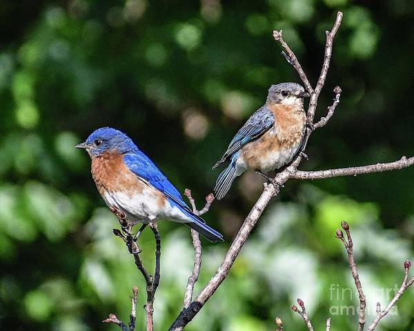 Wall Art - Photograph - The Royal Eastern Bluebird Couple by Cindy Treger