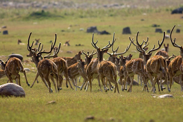 In The Grass Photograph - The Royal Stags by The Wild Side By Nachiketa Bajaj