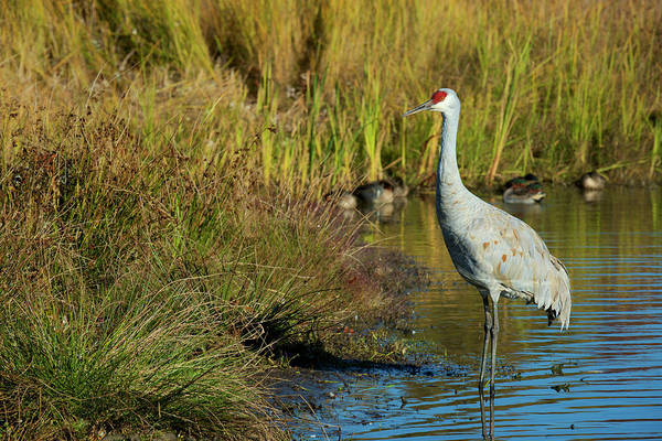 Wall Art - Photograph - The Sandhill Crane Is A Large North by Richard Wright