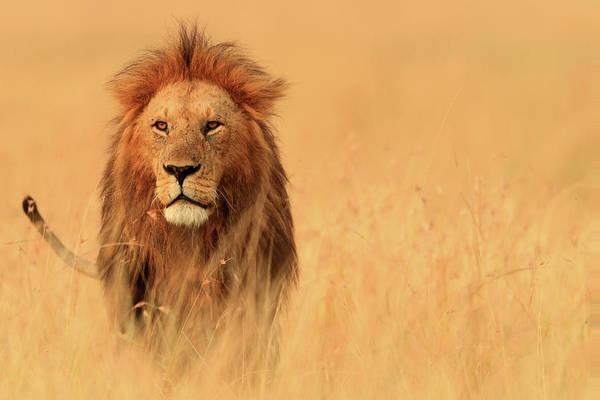 Savannah Photograph - The Savannah King by Manoj Shah