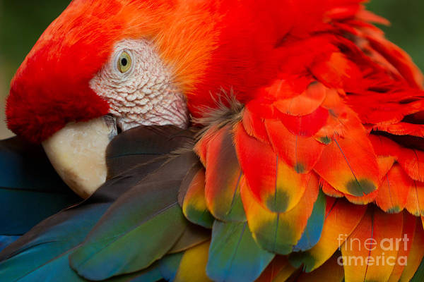 The Scarlet Macaw Is A Large Colorful Art Print