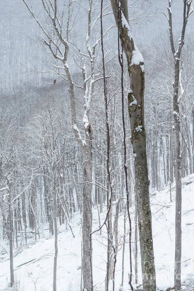 Photograph - The Sentry Monongahela National Forest by Thomas R Fletcher