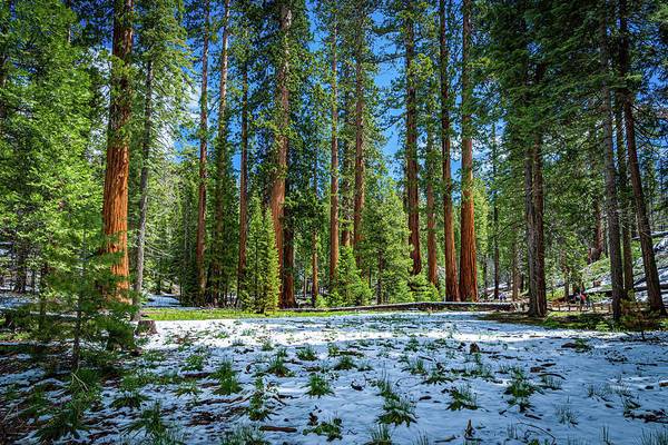 Photograph - The Sequoia Forest by Gaylon Yancy