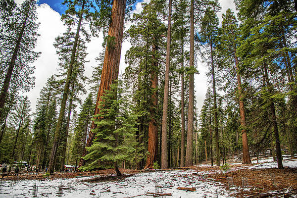 Photograph - The Sequoias Of Yosemite by Gaylon Yancy
