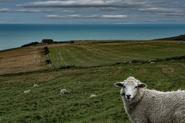 Photograph - The Sheep On The Clifftop by Chris Lord